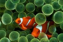 Clownfish / by Muister Nubipuol