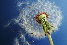 Wishes Weed The Dandelion / by Terri Altherr