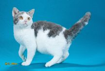 AMERICAN WIREHAIR / by Cat Fanciers Association