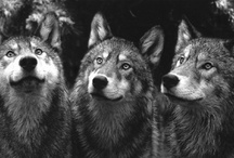wolves / by Rae Pare
