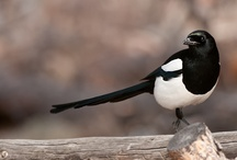 Magpies, Ravens, Rooks & Crows /   / by Elizabeth Elmore