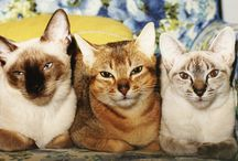 Siamese & Abyssinian - The Regal Cats / I've a board of my own cats - Siamese Cats & One Abyssinian - but just had to start this one of all the beloved Meesers and Abys of others. They are such regal animals. / by Linda Falotico
