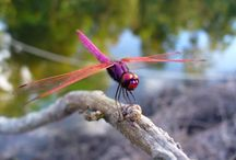Dragonfly / by Jason Knotts