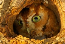 Scowly Owlies / by Anna ~