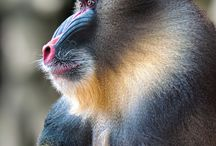 Baboon/Mandrill / by Louise Hillquist