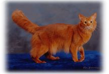 SOMALI / by Cat Fanciers Association