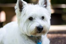 For the love of Westie's / by Rebecca Beeston