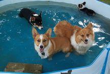 Corgi Pool Parties! / by Daily Corgi