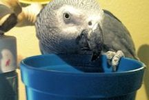 African Grey Parrots / Endearing and fiesty, if you're a bird lover, you probably know about African Grey Parrots.  Timneh's, Congo's and the scarcer Camaroon.  Share your picks and the love of Grey's. / by BirdSupplies.com