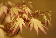 Japanese Maples / by Ed Remsrola