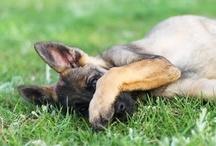 German Shepherds / by Sandie Kay
