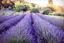Lavender / by debs