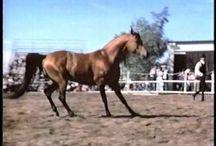 Arabian Horse Legends / by Alison Bucks