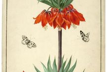 Historical botanical illustration, botanical illustration / by Anna Nenarokova