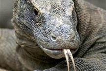 """""""BEWARE"""" Komodo Dragon  / by Mark Wood"""