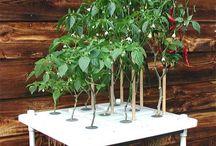 hydroponic gardening / by Tri Trinh