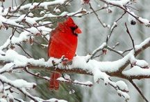 Cardinals in honor of Clarinda / by Janelle Stephens
