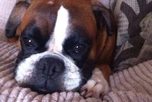 Boxer Dogs / by Jacqueline Laslocky