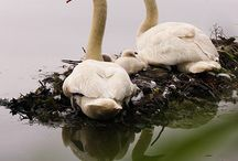 Swans / by Melissa P