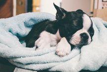 Boston Terrier pr0n / by Terri Hodges