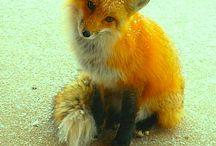 fox / by Cathy Wheelock Caster