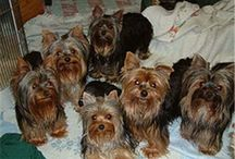 Yorkie pups / My uncle has the most annoying yorkie ever!!! ( no efense bobo)  / by Anya Cornine