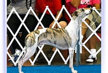 My favorite Whippets / by Donna Bennett
