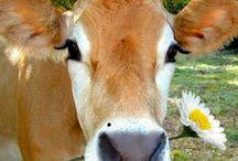 Cows / by Kandi Siddle