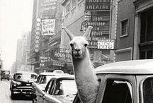 Llama Llove / by Little Stuff