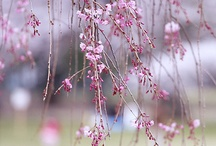 Sakura / An ode to my favorite blossom. / by Raychel A