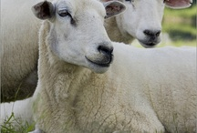 Animals-Sheep & Goats / Photos of sheep and goats / by Ellary Branden