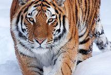 Big Cats / by Jennifer Cordio