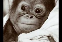 Apes are NOT monkeys.  / by Megan Irwin