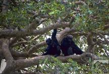 Chimpanzees / by Volcanoes Safaris