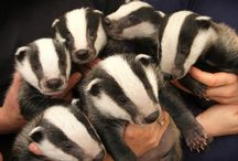 Badgers / by Amarillo College