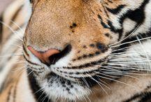 Tigers / by Deanna Gilliard