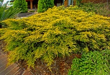 Enchanting Evergreens / by Lawncare Plus Design~Landscaping Hardscaping Patios Gardening