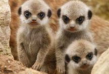 All God's Critters - Meercats, Lemurs, Monkeys / My favorite animal is the Meercat.  I like the Leemurs, too, but they come after Pandas and Poler Bears / by Kay Hough