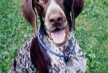 Shorthaired Pointer Obsession<3 / Unless you have one or have had one you will NEVER understand. / by Taylor Lehman