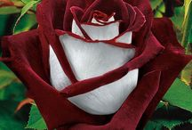 Roses / by Mary Snarr