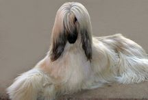 Afghan Hounds / by Roxann Rossi