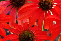 Cutting Edge Coneflowers / Pictures of different types of coneflowers. / by Lawncare Plus Design~Landscaping Hardscaping Patios Gardening