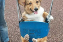 Corgi Love & Other Cute Animals <3 / by Meghan Miller