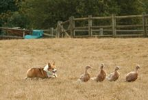 Corgis Herding! / by Daily Corgi