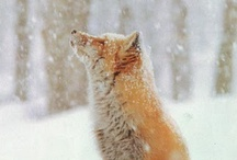 Foxes and Woodland Animals, Pictures and Ideas / Absolutely everything on foxes! Paintings, drawings, photos, diys, crafts, and anything with a fox on it!  Oh and PLEASE tell me if I accidentally post the same pin twice. Just comment on the double and I'll get rid of it. Thanks :) / by Jody