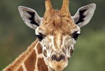 Giraffe's / My favorite animal ever! Love going to St. Louis Zoo to visit them! / by Exsondra Jones-Higgason