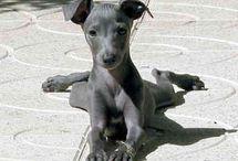 Italian Greyhound / Lilly Bug and Bonnie Boo-Boo / by Kim Larson Monroe