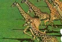 Out of Africa Giraffe / by Pieter Smith