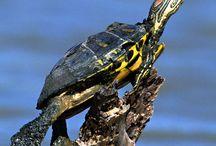 Turtles / by Danielle Cincoski