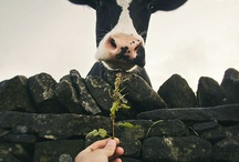 COWS / I love cows / by Kerry Pitts